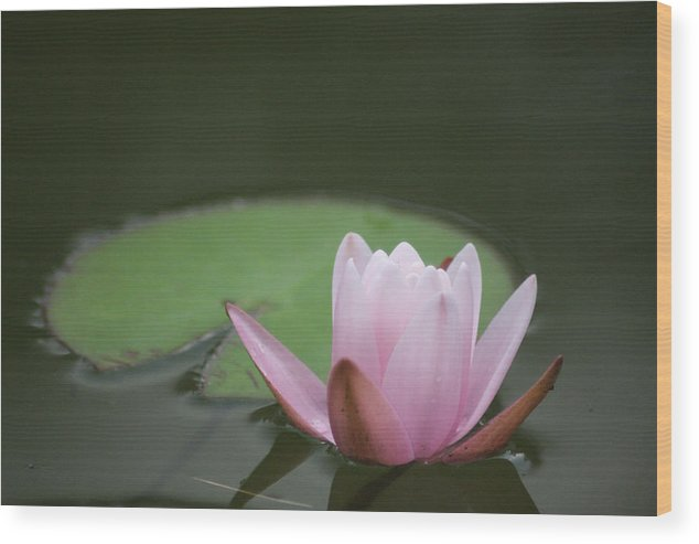 Lily Wood Print featuring the photograph Lily And Pad by Paul Tokarchuk
