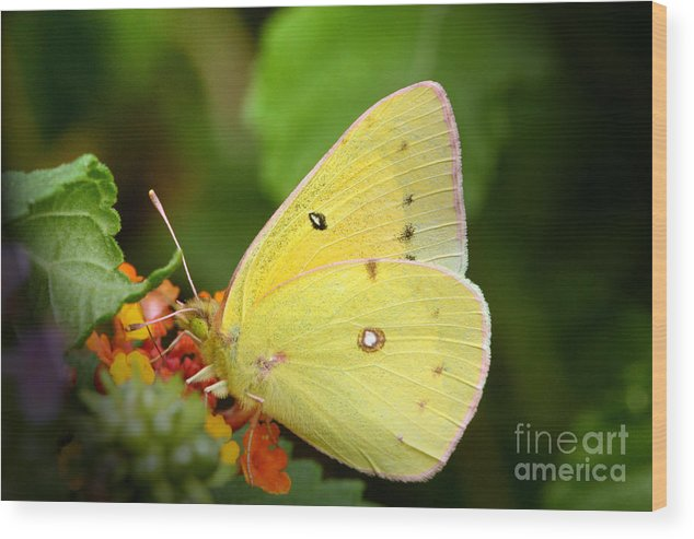 Yellow Wood Print featuring the photograph Sipping Nectar by Jeannie Burleson