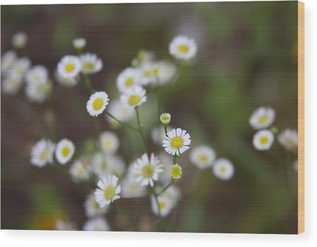 Daisy Wood Print featuring the photograph White Daisy by Kenna Westerman