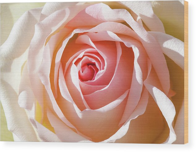 Australia Wood Print featuring the photograph Soft As A Rose by Az Jackson