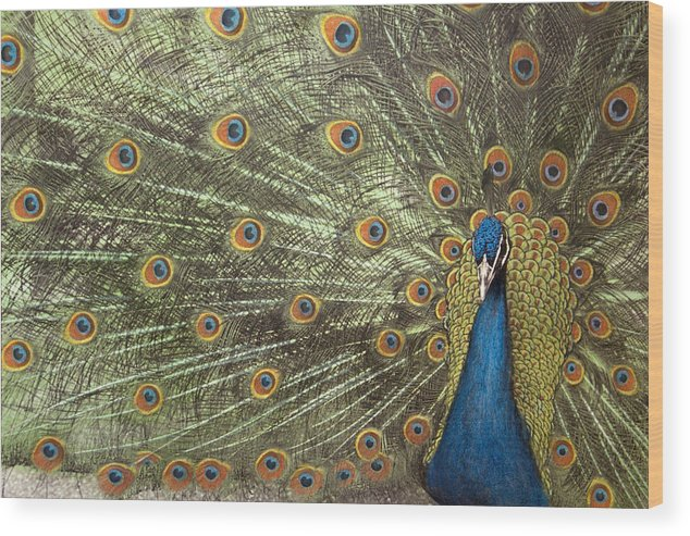 Peacock Wood Print featuring the photograph Peacock by Michael Hudson