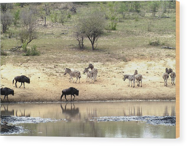 Zebra Wood Print featuring the photograph Watering Hole by Charles Ridgway
