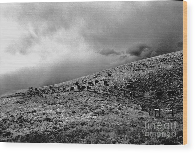 Cattle Wood Print featuring the photograph Before The Storm by Susan Chandler