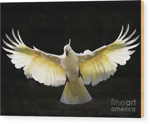 Sulphur Crested Cockatoo Australian Wildlife Wood Print featuring the photograph Sulphur Crested Cockatoo In Flight by Sheila Smart Fine Art Photography