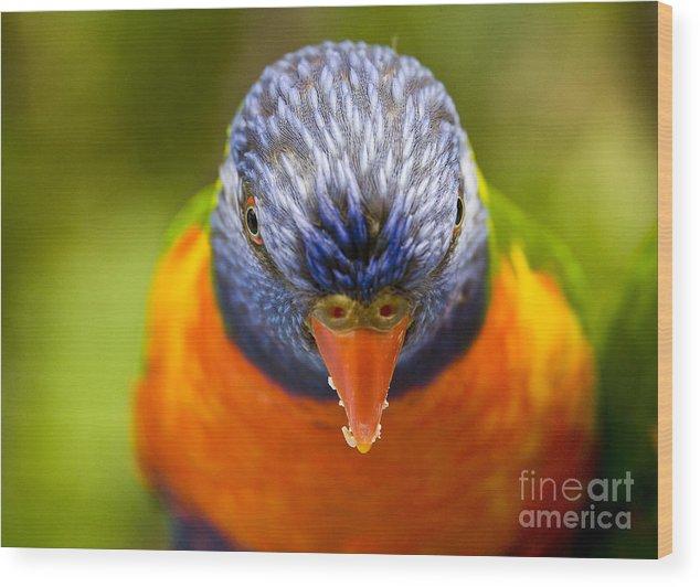 Rainbow Lorikeet Wood Print featuring the photograph Rainbow Lorikeet by Avalon Fine Art Photography