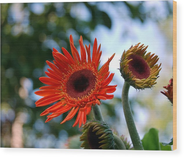 Gerbera Daisy Wood Print featuring the photograph Gerberas by Heather S Huston
