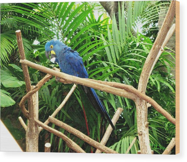 Nature Prints Wood Print featuring the photograph Blue Parrot by Suzanne McClain