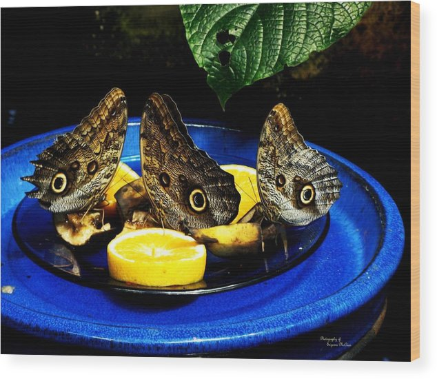 Owl Butterflies Wood Print featuring the photograph Owl Butterflies by Suzanne McClain