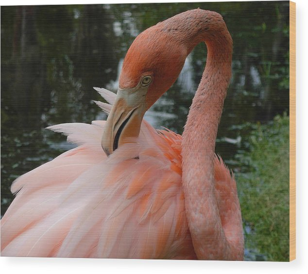 Birds Wood Print featuring the photograph Flamingo Feathers by Amanda Vouglas