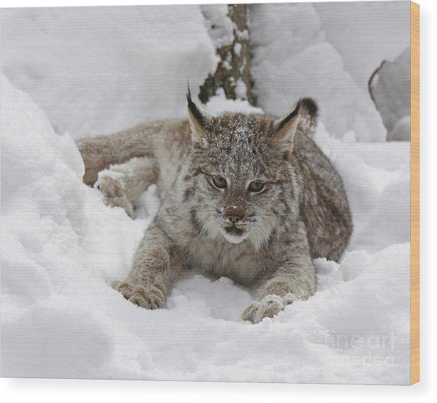 Baby Wood Print featuring the photograph Baby Lynx On A Lazy Winter Day by Inspired Nature Photography Fine Art Photography
