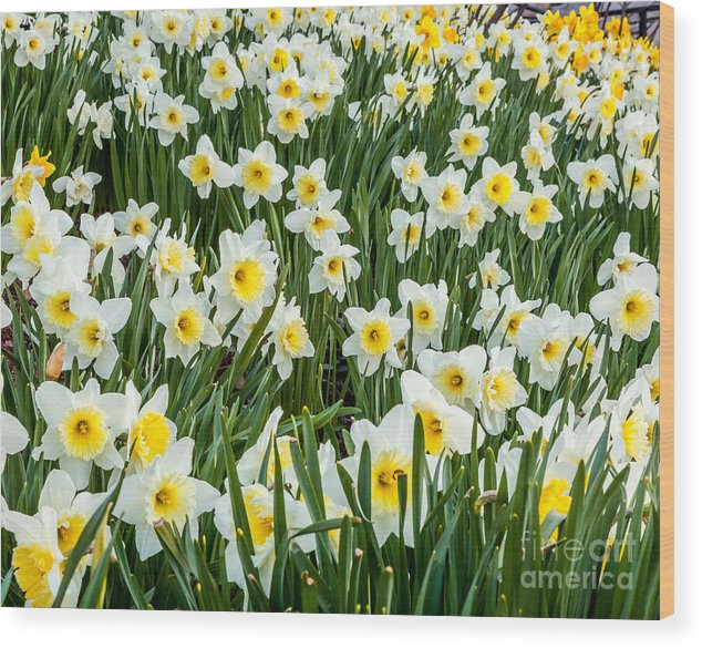 America Wood Print featuring the photograph Daffodil Field 2 by Susan Cole Kelly
