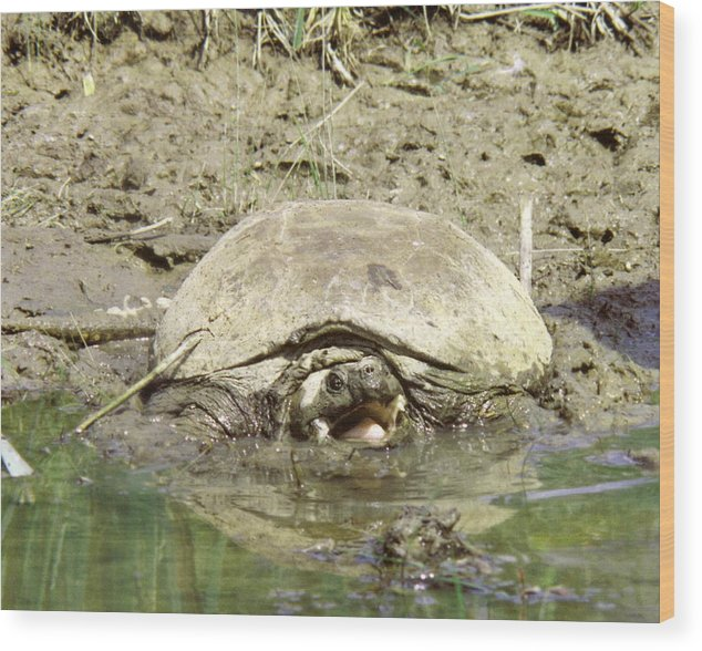 Turtle Wood Print featuring the photograph 070406-73 As Mean As He Looks by Mike Davis