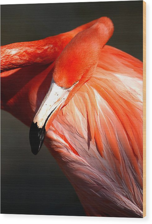 Birds Wood Print featuring the photograph Flamingo - Over The Shoulder by Joseph Reilly