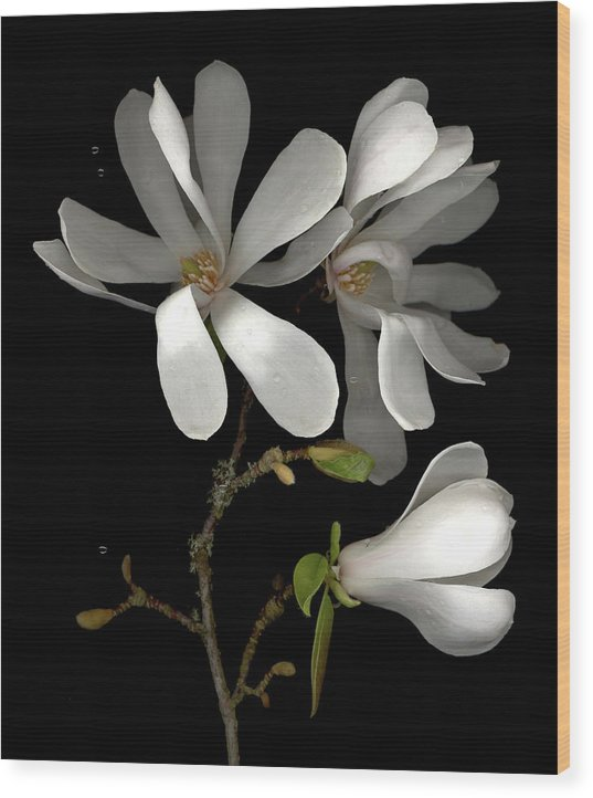 Scanography Wood Print featuring the photograph April Magnolia by Sandi F Hutchins
