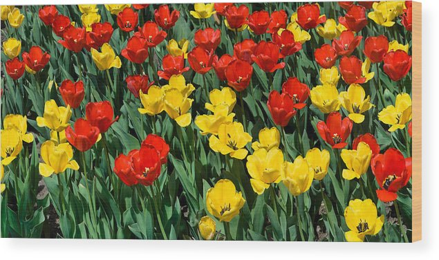 Red Wood Print featuring the photograph Red and Yellow Tulips Naperville Illinois by Michael Bessler
