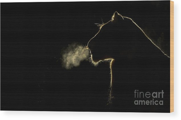 Nis Wood Print featuring the photograph African Lioness Breath Sabi Sands South by Brendon Cremer