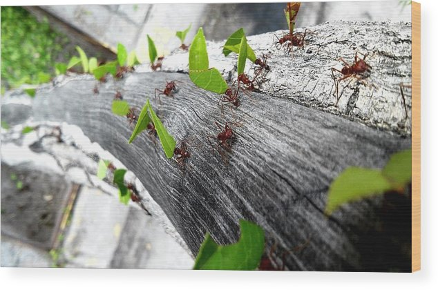 Leaf Cutter Ant Wood Print featuring the photograph Close-Up Of Ants Carrying Leaves by Carlos Ángel Vázquez Tena / EyeEm