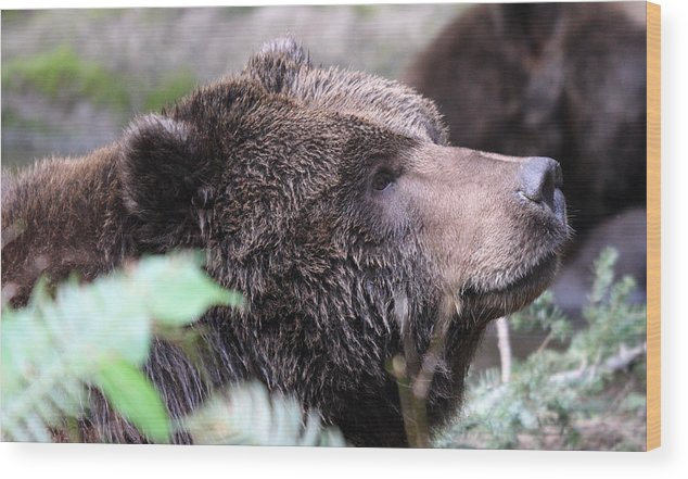 Northwest Trek Wood Print featuring the photograph Grizzley - 0010 by S and S Photo