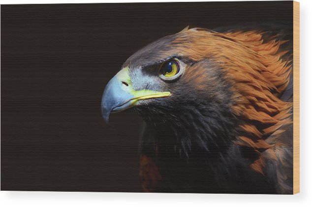 Animal Themes Wood Print featuring the photograph Female Golden Eagle by A L Christensen