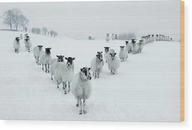 Cool Attitude Wood Print featuring the photograph Winter Sheep V Formation by Motorider