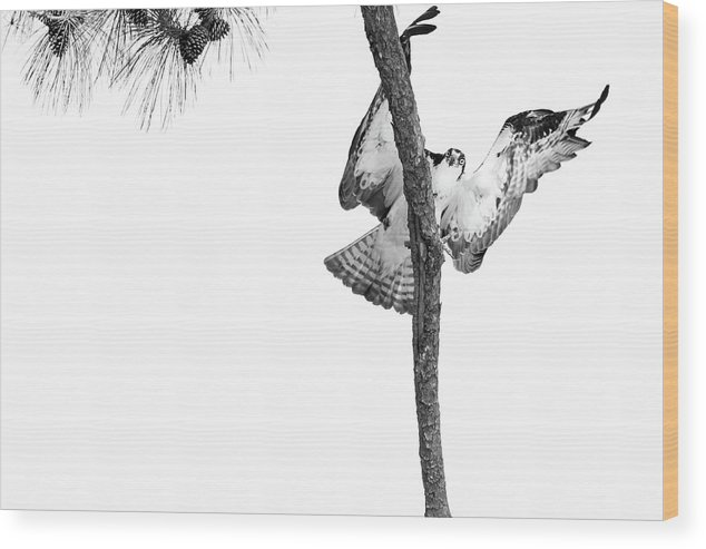 Osprey Wood Print featuring the photograph No Translation Needed by Michael McStamp