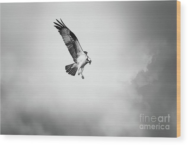 Osprey Wood Print featuring the photograph On the Hunt BW by Michael McStamp