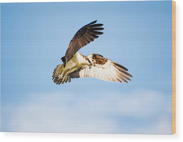 Osprey Wood Print featuring the photograph On the Hunt Five by Michael McStamp