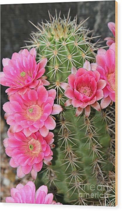 Cactus Flower Wood Print featuring the photograph Cactus Flower by Patrick Short