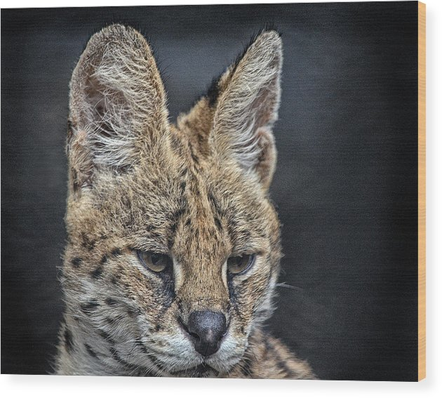 Serval Wood Print featuring the photograph Serval Portrait by Maggy Marsh