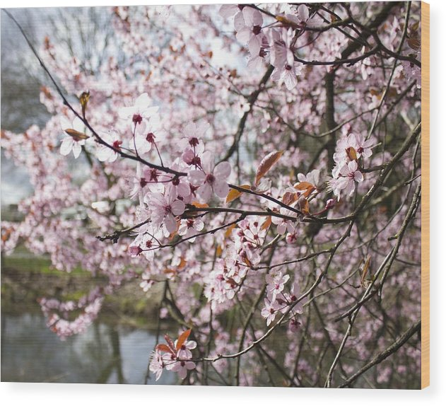 Cherry Blossom Wood Print featuring the photograph Cherry Blossoms by Michelle Torres