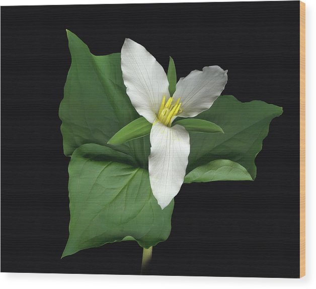 Trillium. Wake Robin Wood Print featuring the digital art Trillium by Sandi F Hutchins