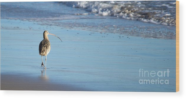 Marbled Godwit Wood Print featuring the photograph Marbled Godwit by Charlene Gauld