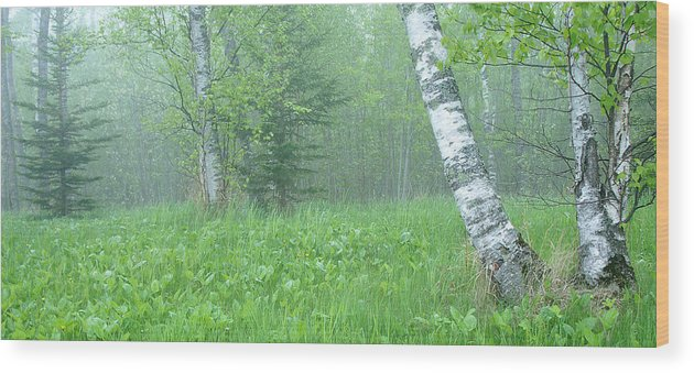 Landscape Wood Print featuring the photograph Silent Birch by Bill Morgenstern