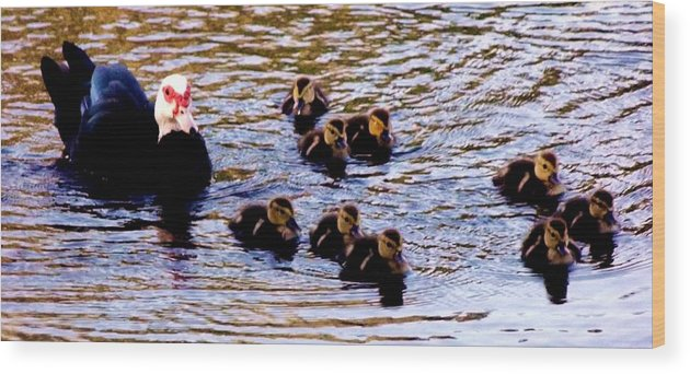 Ducks Wood Print featuring the photograph Late Spring Morning Swim by Lori-Anne Fay