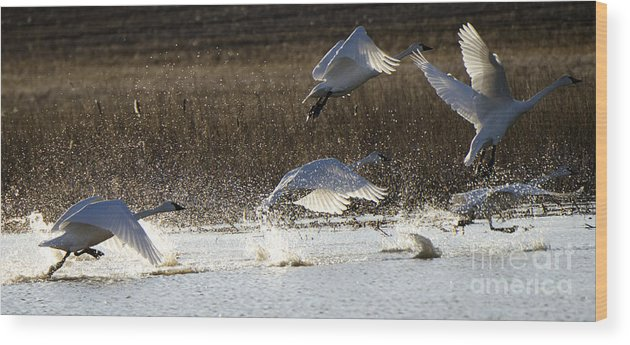 Swan Wood Print featuring the photograph Tundra Swans Take Off 2 by Bob Christopher