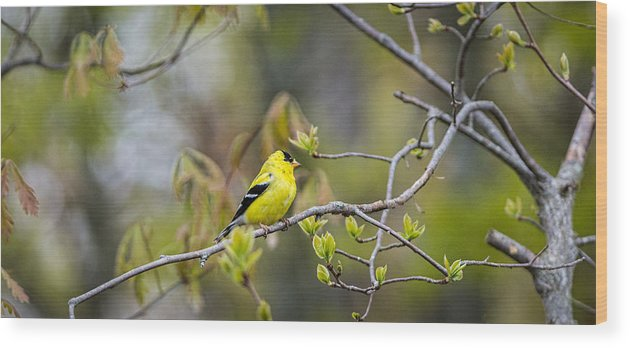 Goldfinch Wood Print featuring the photograph Goldfinch In Spring by David Kay