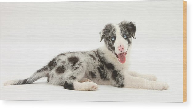 blue merle border collie pup wood printmark taylor