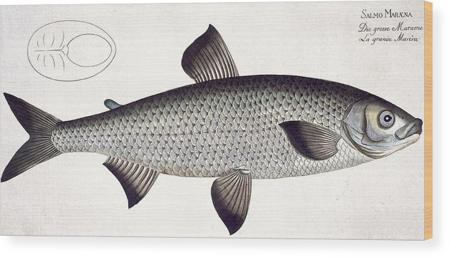 Fish Wood Print featuring the painting Salmon by Andreas Ludwig Kruger
