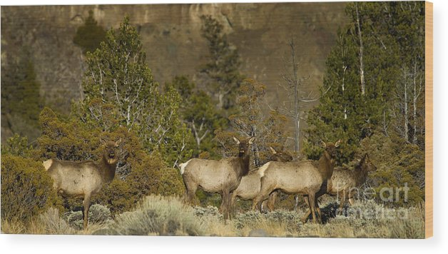 Elk Wood Print featuring the photograph Herd Of Cow Elk  #7672 by J L Woody Wooden