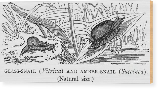 Amber Wood Print featuring the photograph Snails by Granger