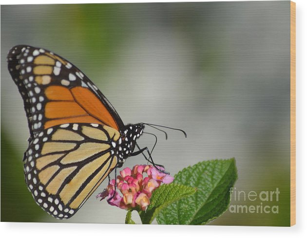 Butterfly Wood Print featuring the photograph Butterfly by Janie North