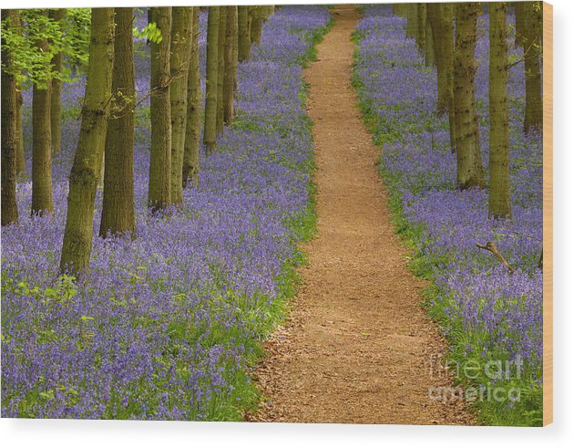 Ashridge Estate Wood Print featuring the photograph Bluebell Trail by Michael Hudson