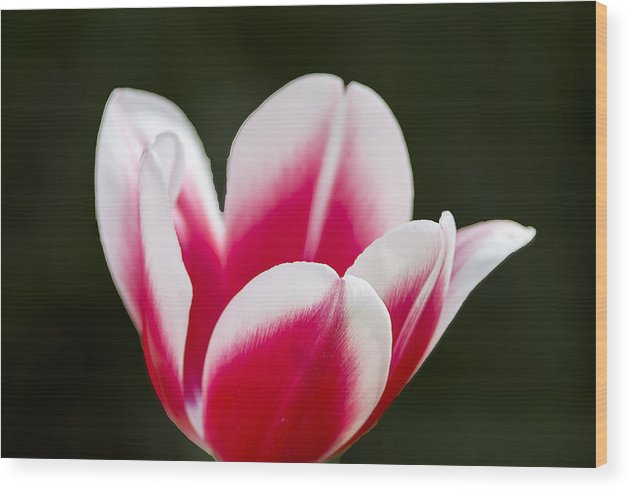 Tulips Wood Print featuring the photograph Keukenhof 14002 by Robert Van Es