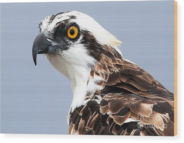 Bird Wood Print featuring the photograph Osprey Profile by Rick Mann