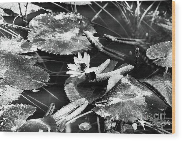 Texas Lily Pond Wood Print featuring the photograph Texas Lily Pond by John Rizzuto