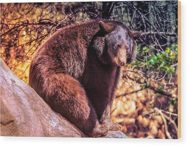 America Wood Print featuring the photograph Lonely Black Bear On A Rock by Paul Sommers