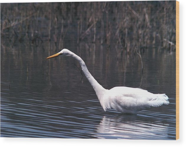 Great Egret Wood Print featuring the photograph 070406-8 by Mike Davis