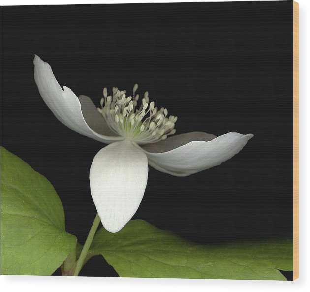 Wood Print featuring the photograph Little White by Sandi F Hutchins