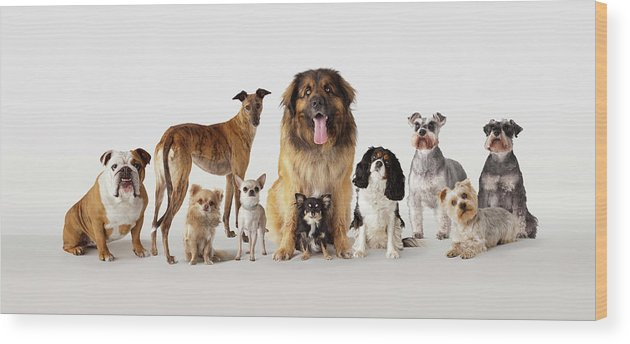 Pets Wood Print featuring the photograph Group Portrait Of Dogs by Compassionate Eye Foundation/david Leahy