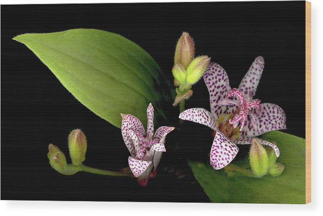 Lily Wood Print featuring the photograph The Toad Lily by Sandi F Hutchins